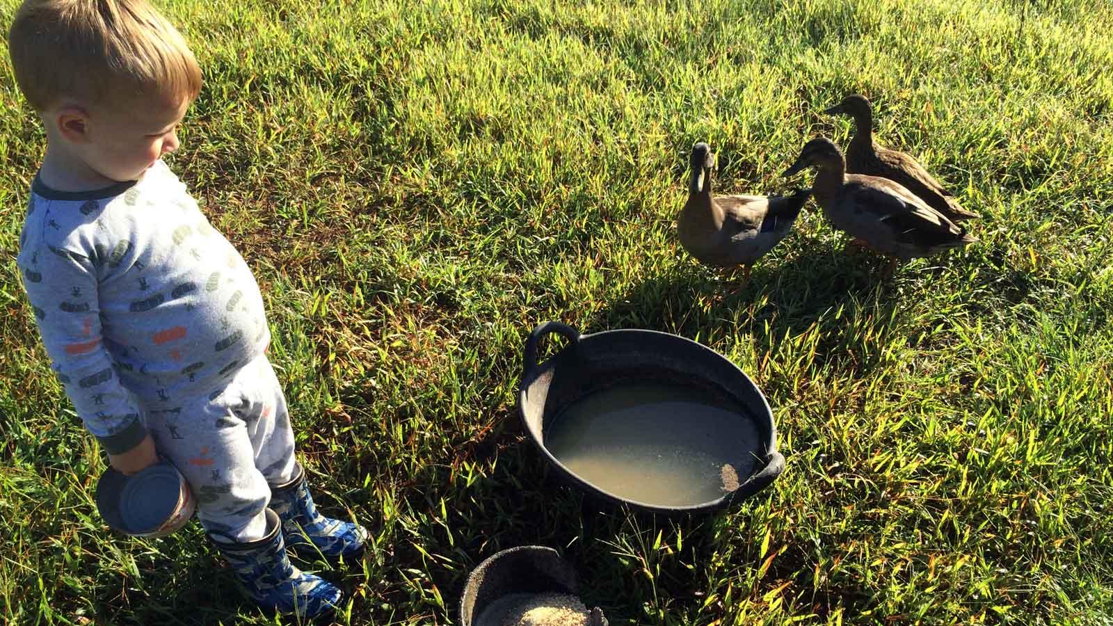 The New Mallard Ducks