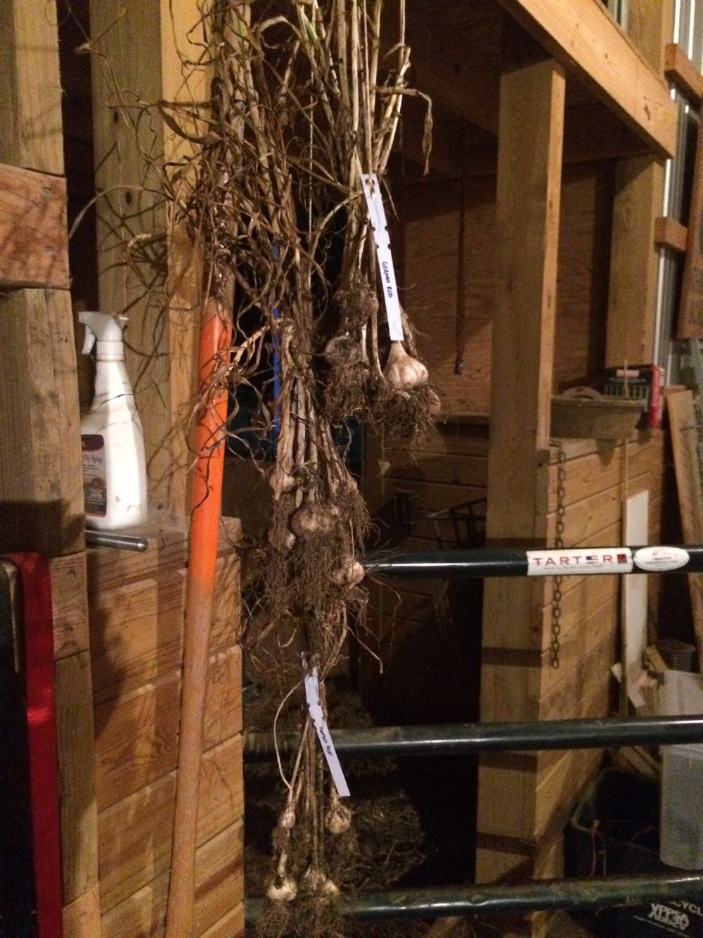 Garlic hanging in the barn